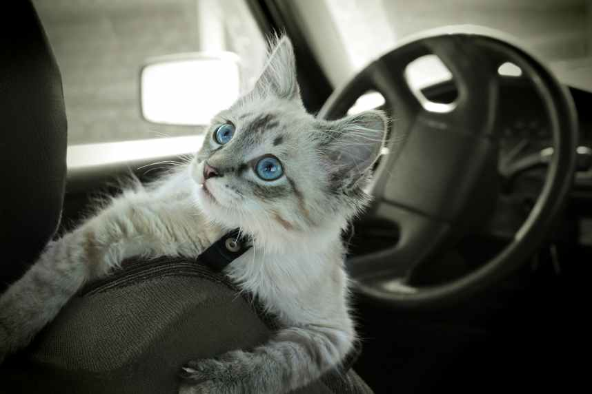 Cat sits in the car