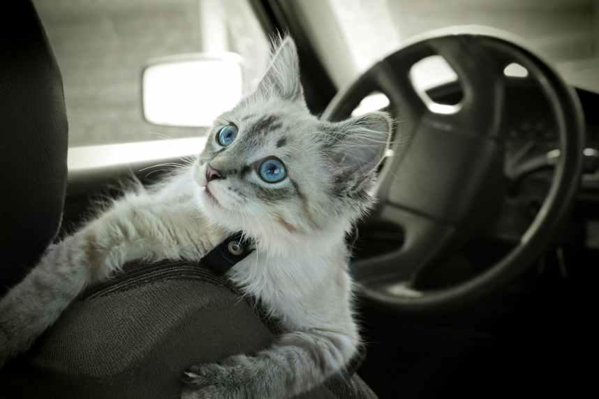Cat sits in the car