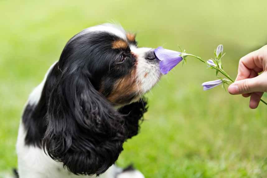 Spaniel smelling flower