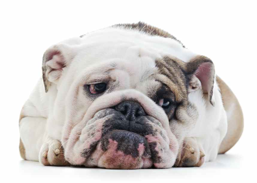 Sad English Bulldog