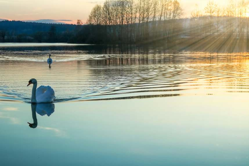 Swans on resevoir in Hertfordshire